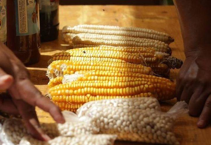 Preparan subsidio del 100% a 11 mil hectareas de maíz.