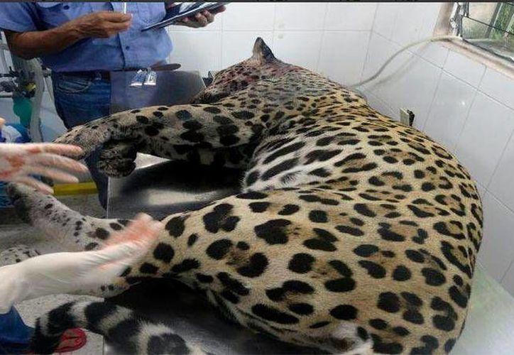 La Profepa reportó hoy el deceso de un jaguar que fue hallado con dos impactos de bala este sábado.  (Redacción/SIPSE)