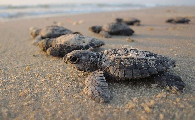El Ayuntamiento de Benito Juárez, al que pertenece Cancún, ofrece a estudiantes de preparatoria y universidad hacer su servicio social en el programa de protección de tortugas. (Pixabay)