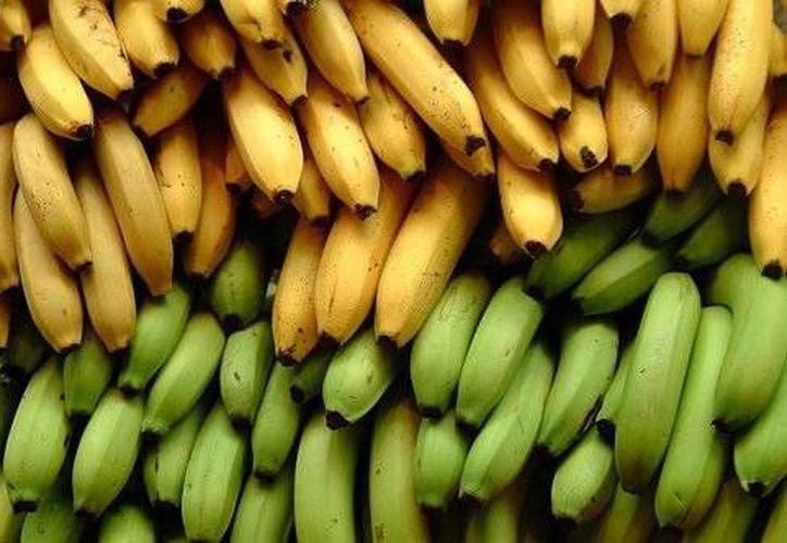Los científicos trabajan ahora en un método químico para modificar la fracción indigerible del almidón del plátano macho. (foros.vogue.es)