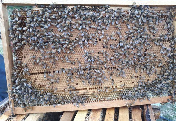 La utilización de químicos afectará a los apiarios del municipio. (Carlos Castillo/SIPSE)