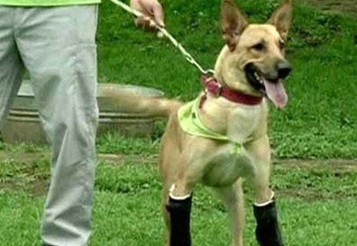 Los perros de raza Beagle han sido usados históricamente en experimentos científicos por ser animales muy sumisos. (Archivo/Internet)
