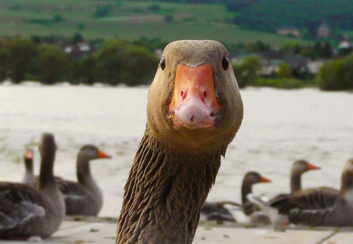 El ganso que vive en la ciudad desde hace tiempo, se ha vuelto últimamente muy agresivo. (Reuters)