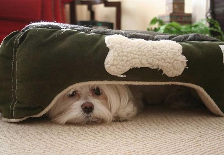 El sonido de los petardos afecta a todas las familias caninas, pero no de la misma forma. (DogExpress)