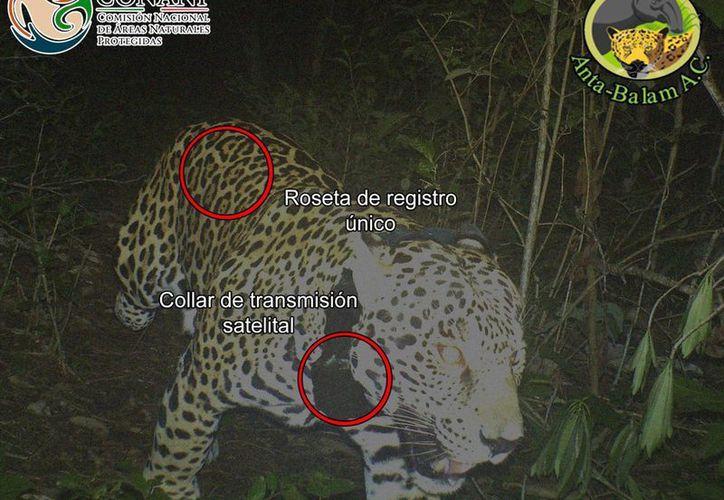 Al jaguar capturado se le colocó un collar para rastrearlo tras ser puesto en libertad. (Cortesía)