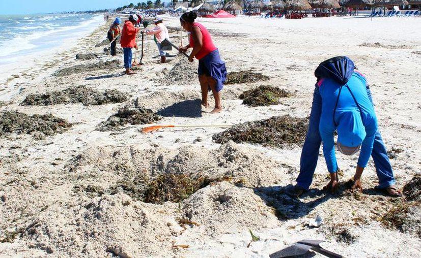 Personal de Ayuntamiento de Progreso recolectó y enterró el sargazo en la zona de playas de malecón. (Gerardo Keb/SIPSE)