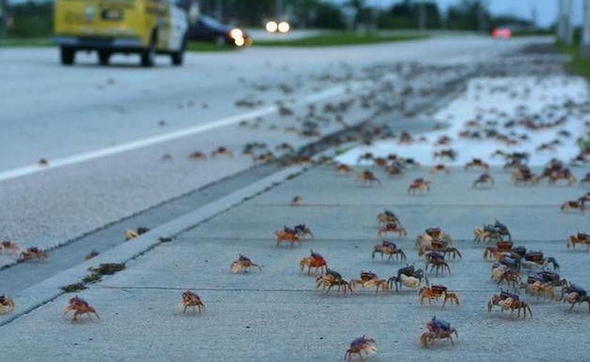 El principal depredador del Cangrejo Azul, son los automovilistas que a su paso truncan la reproducción de la especie. (Foto de Contexto/Internet)