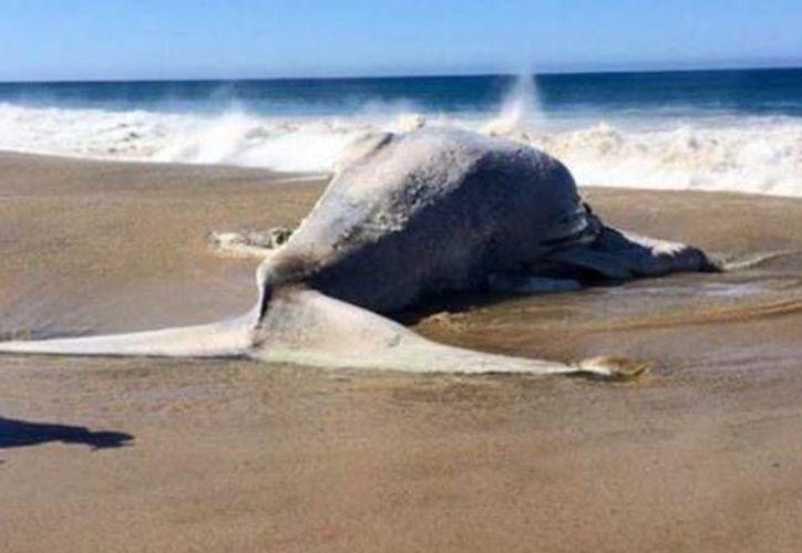 La ballena mide aproximadamente 14 metros de longitud. (Foto: Twitter/@ABaranano)