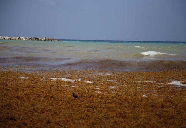 Las autoridades ambientales supervisarán los trabajos para retiro del sargazo. (Israel Leal/SIPSE)