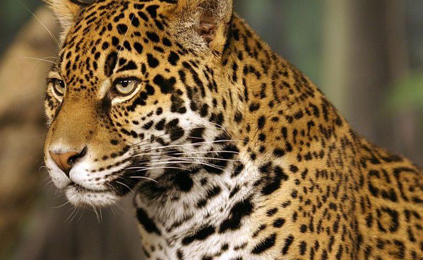 La deforestación, la caza furtiva, el crecimiento de las zonas urbanas, la contaminación ambiental, etc, han puesto a muchas especies en estado vulnerable.  (Wikipedia)