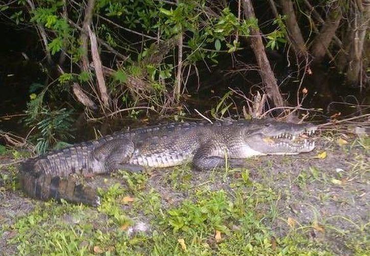 En la laguna Nichupté en la zona hotelera se pueden encontrar cocodrilos. (Gonzalo Zapata/SIPSE)