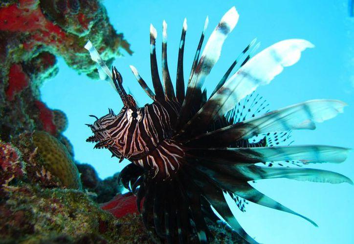 El pez león es dañino para el ecosistema marino. (Adrián Barreto/SIPSE)