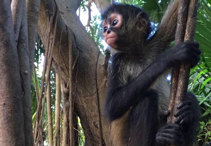 Se trata del primer mono araña que muere atacado por un perro. (Foto: Daniel Pacheco)