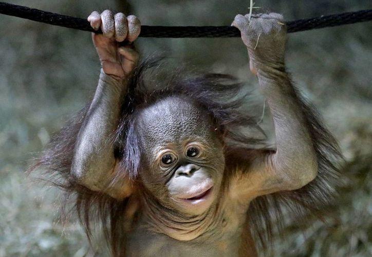 Tuah,un cachorro de orangután,fue presentado en el zoológico Hogle de Utal. (Agencias)