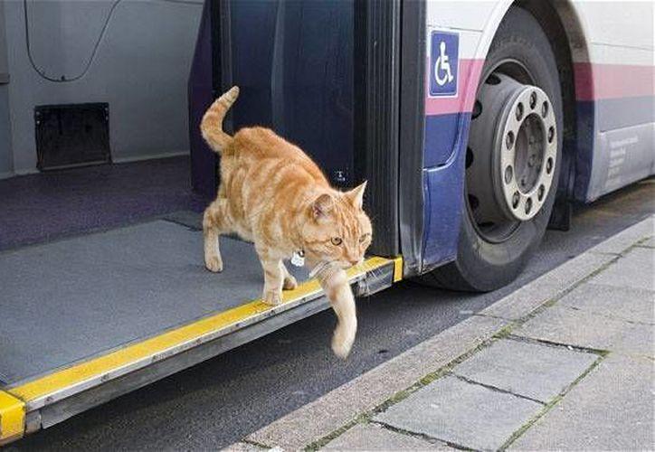 El gato Dodger sube y baja de los camiones como cualquier pasajero. (Foto. Telegraph)