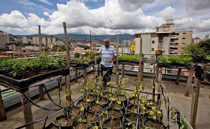 Francisco Salazar inspecciona su plantación de tomates y lechugas en la azotea de su departamento en Caracas, Venezuela. (Agencias)
