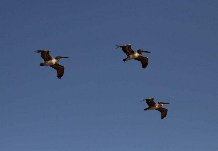 Las especies migratorias que antes se veían en el municipio, ahora vuelan al centro y sur del estado en busca de más vegetación.  (Carlos Calzado/SIPSE)