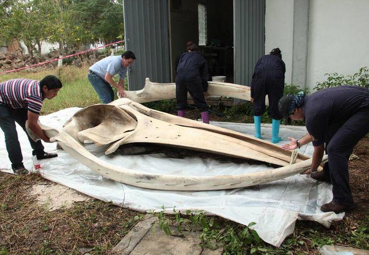El Museo Zamná tendrá los restos óseos de la ballena que recaló a principios del año en Progreso. Imagen de contexto del secado de los huesos para el  proceso de conservación. (Milenio Novedades)