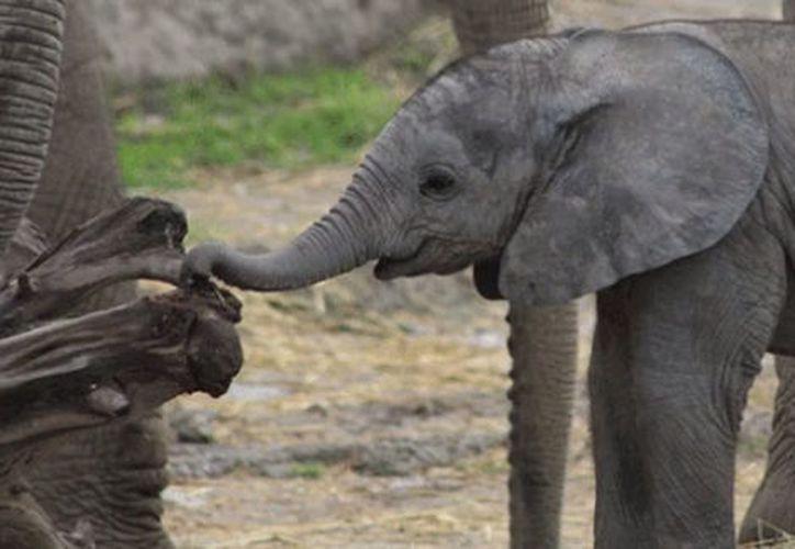 Un elefante africano nació en el parque Africam Safari de Puebla. (Milenio.com)