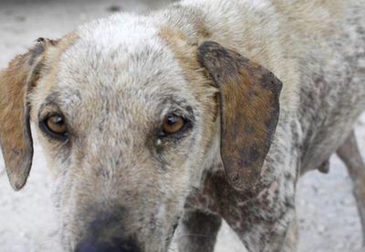 Una docena de perros con sarna se ha instalado en Playa del Niño.  (Francisco Gálvez/SIPSE)
