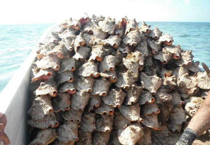 La pesca de caracol rosado, que representa el 98% de las especies de aprovechamiento en el estado, reinició apenas en este 2017. (Joel Zamora/SIPSE)