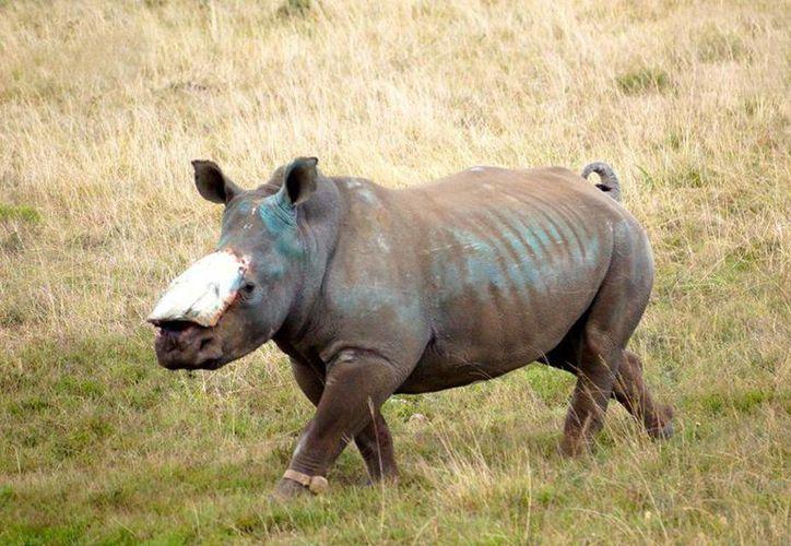 Quedan mil 215 rinocerontes vivos en Sudáfrica. Ese país legalizó de nuevo el comercio de los cuernos del animal. (Archivo/SIPSE)