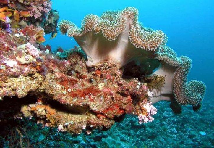 Los arrecifes de coral del mundo están en fase de deterioro y su reproducción amenazada. (Excelsior)
