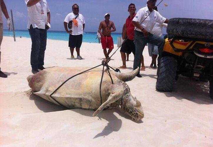La tortuga blanca media 1.20 metros por 90 centímetros. (Twitter: @marivelez85)