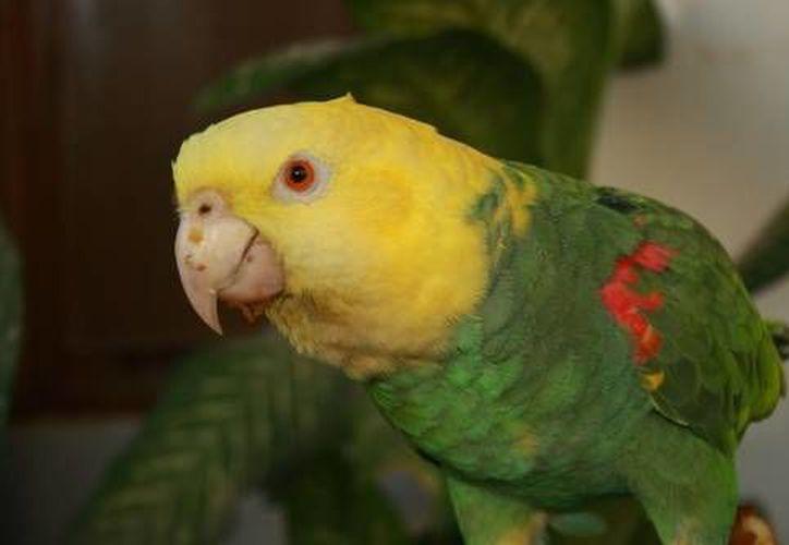 El loro cabeza amarilla se encuentra en peligro de extinción. (Contexto/Internet)