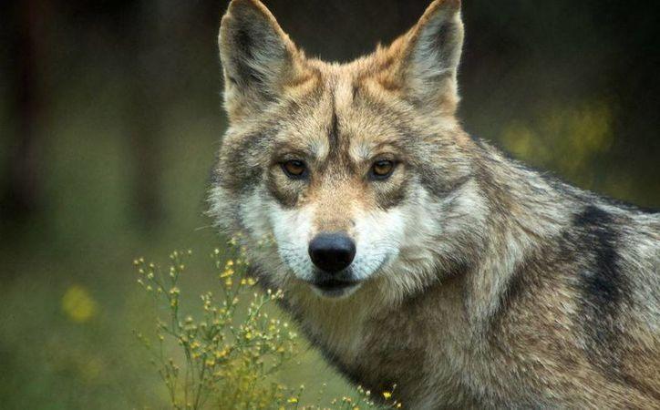 El lobo mexicano estuvo apunto de la extinción, pero afortunadamente se capturaron algunos ejemplares y se ha podido recuperar la población en cautiverio. (lobomexicano.org.mx)