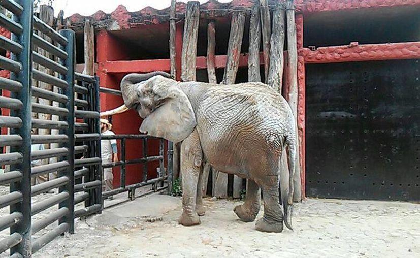 La elefanta 'Marry' estuvo 4 meses en el zoológico 'Benito Juárez' de Morelia, Michoacán, en donde recibió atención médica; sin embargo, falleció al momento en que se intentaba su traslado de regreso al Culicán, Sinaloa, desde donde llegó 'a préstamo'. (zoomorelia.michoacan.gob.mx)