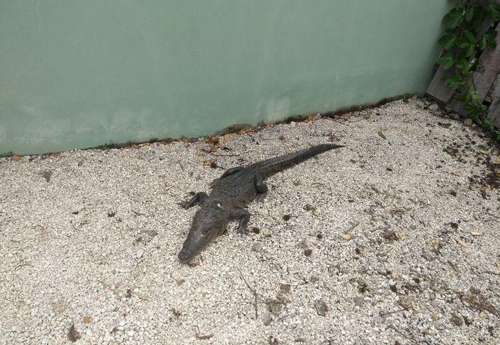 Una persona se encontró al cocodrilo en el patio de su casa, en Mahahual. (Foto: Redacción/SIPSE)
