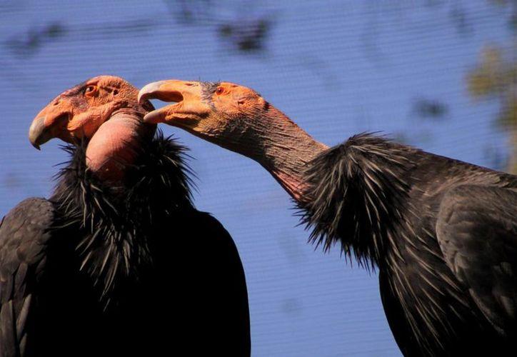 El Gobierno de la Ciudad de México, anunció la llegada al Zoológico de Chapultepec, de dos hembras de Cóndor de California provenientes de San Diego y Santa Bárbara. (Foto Notimex)