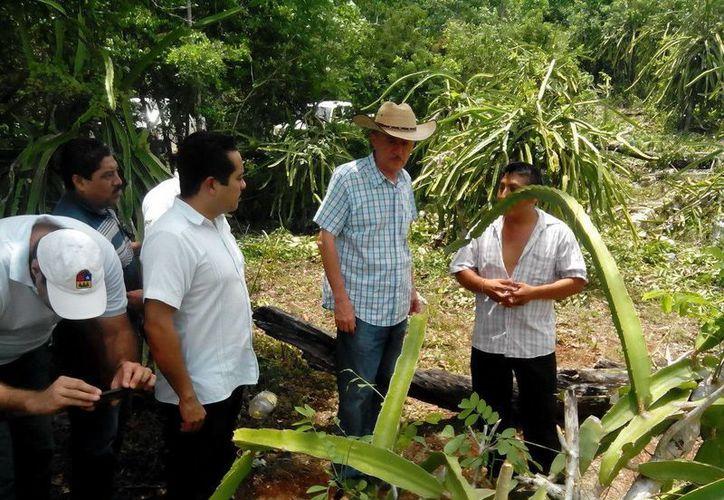 Actualmente hay 600 hectáreas de pitahaya sembradas en el municipio de Felipe Carrillo Puerto. (Cortesía)