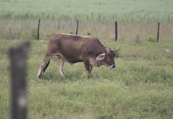Alrededor de 900 ganaderos corren riesgos de perder sus fondos de aseguramiento. (Harold Alcocer/SIPSE)