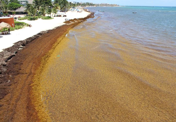 Luego de los trabajos de limpieza, el sargazo sigue llegando al litoral de Playa del Carmen. (Adrián Barreto/SIPSE)