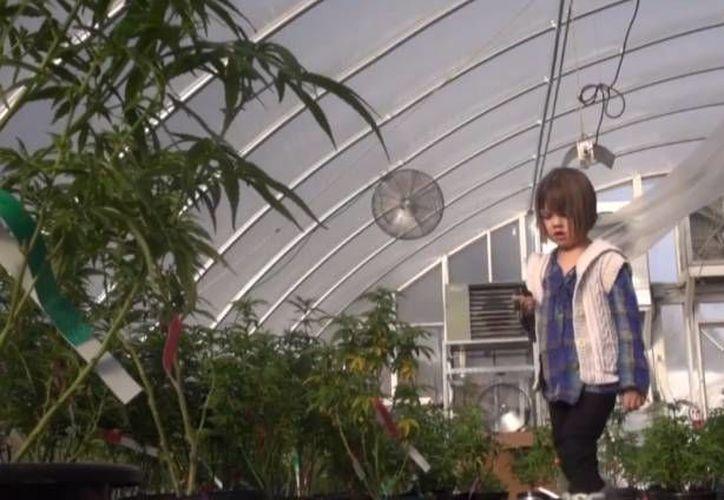 Charlotte se recuperó de un mal epiléptico gracias a una mezcla de marihuana con aceite de oliva. (marijuana.com)