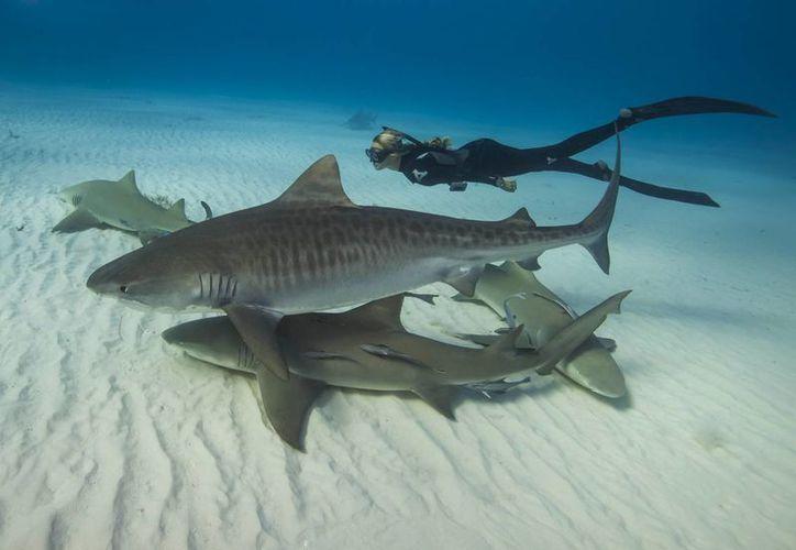 Ramsey se ha zambullido con más de 32 especies de tiburón. (Foto: EFE)