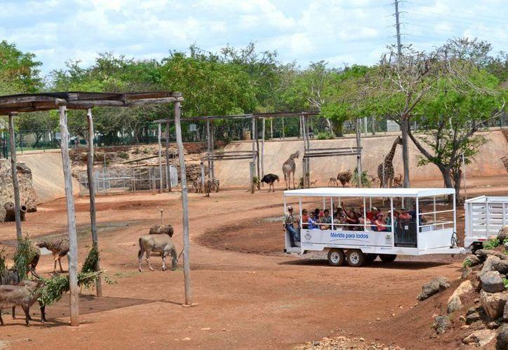 El safari en Animaya es uno de los servicios más solicitados que ofrece el zoológico meridano ubicado en Ciudad Caucel. (Notimex)
