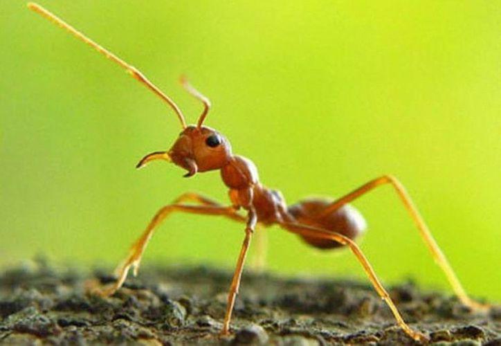 El estudio también indagó las relaciones sociales entre las hormigas obreras gracias a la gran cantidad de imágenes recopiladas. (MILENIO)