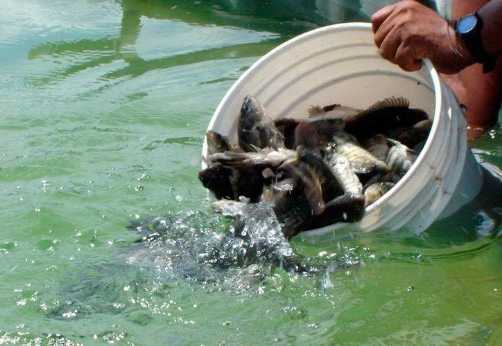 Los acuacultores de Yucatán cuentan con un subsidio que les da el Gobierno para pagar gastos de energía en las granjas acuícolas. (Milenio Novedades)