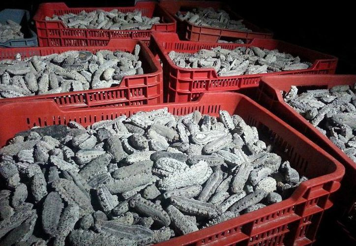 El año pasado cobró auge el contrabando de pepino de mar en Yucatán. (Milenio Novedades)