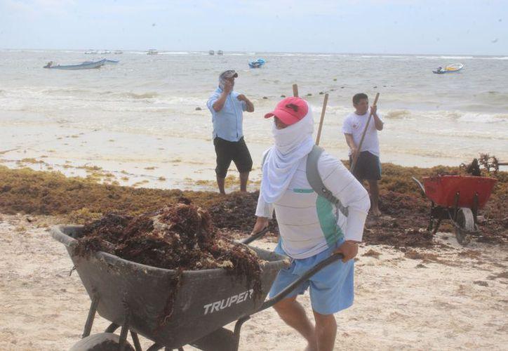 Se registra una gran cantidad de sargazo en las costas del municipio. (Sara Cauich/SIPSE)