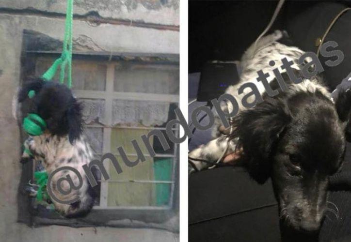 El perro fue entregado a la Asociación, sin embargo, al momento en que se retiraban de Aguascalientes, un inspector de la Procuraduría Estatal de Protección al Ambiente, intentó evitar que se fueran con el animal. (Excelsior)