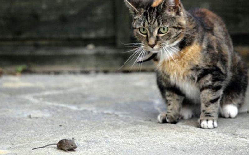 Diagnostican a tres gatos con peste negra en EU