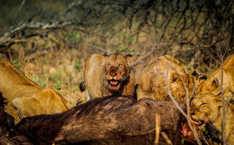 Queda cráneo tras ataque de elefante y leones — Cazador cazado