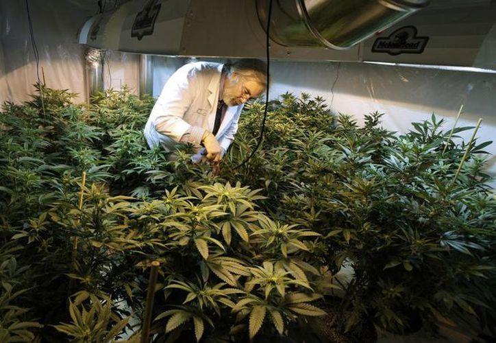 Los defensores de la marihuana reconocen que podrían pasar años para que el Congreso apruebe algún cambio. (Agencias)
