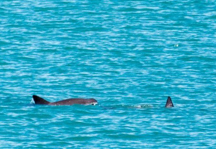Por avistamiento que realizaron científicos durante una expedición, confirmaron que la vaquita marina ¡No está extinta! (Foto: Especial)