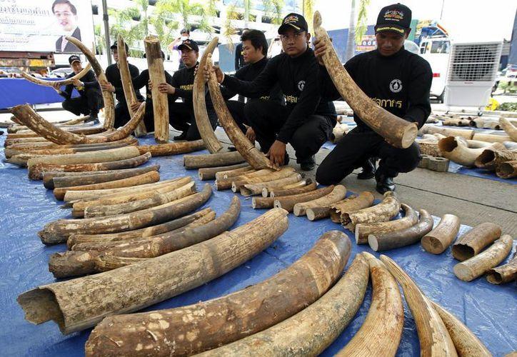 Los colmillos de elefantes, al igual que los cuernos de rinocerontes, se utilizan en la medicina tradicional o como elementos de lujo. (Archivo/EFE)