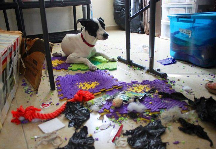 Las explosiones decembrinas pueden causar mucho estrés en perros y gatos. (Daniel Pacheco/SIPSE)
